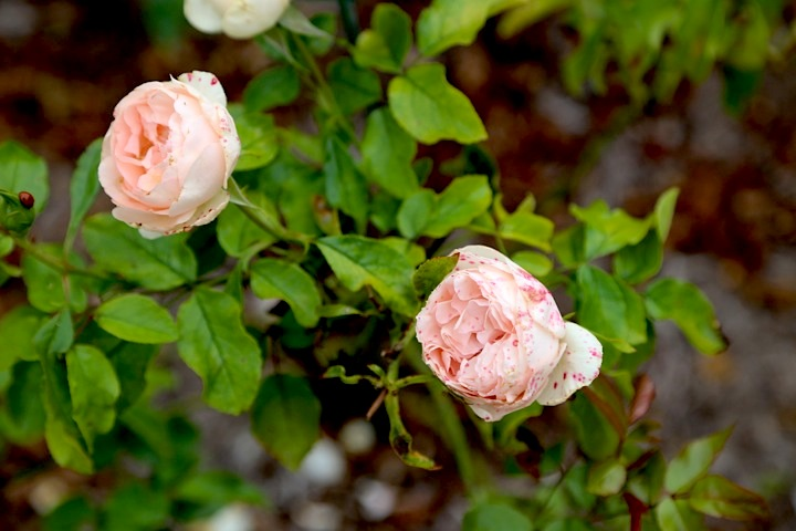 Paris Day Trips, Spotted roses at Malmaison, French garden, chateau visit
