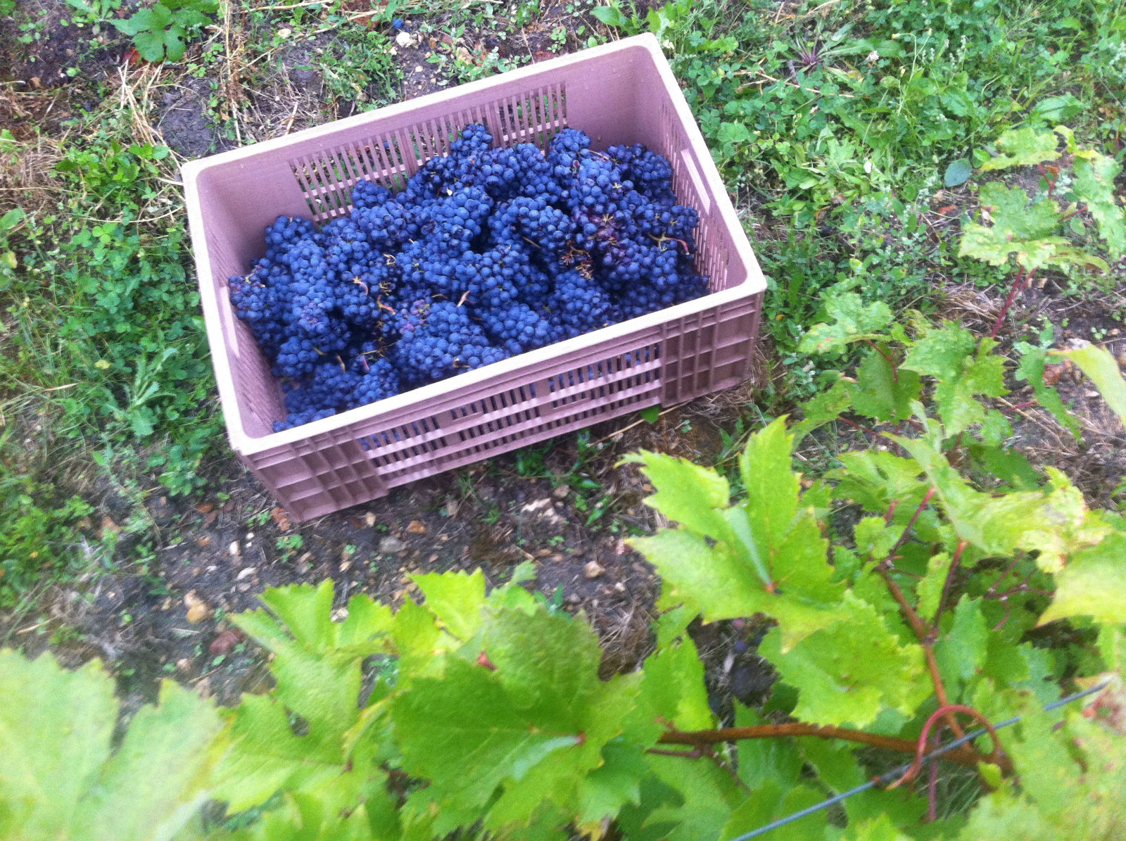 HiP Paris blog. Experiencing the wine harvest in France.