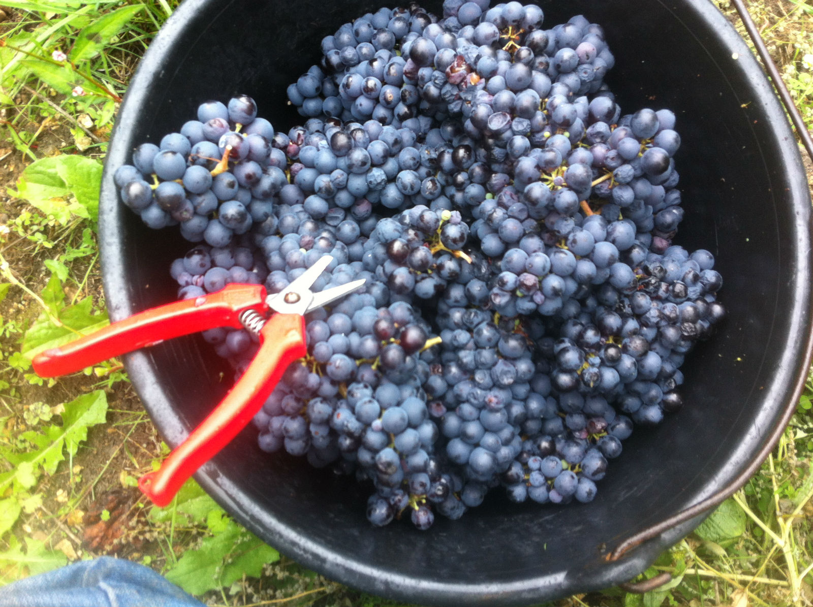 HiP Paris blog. Experiencing the wine harvest in France. Well-tended, hand-raised grapes must also be harvested by hand.