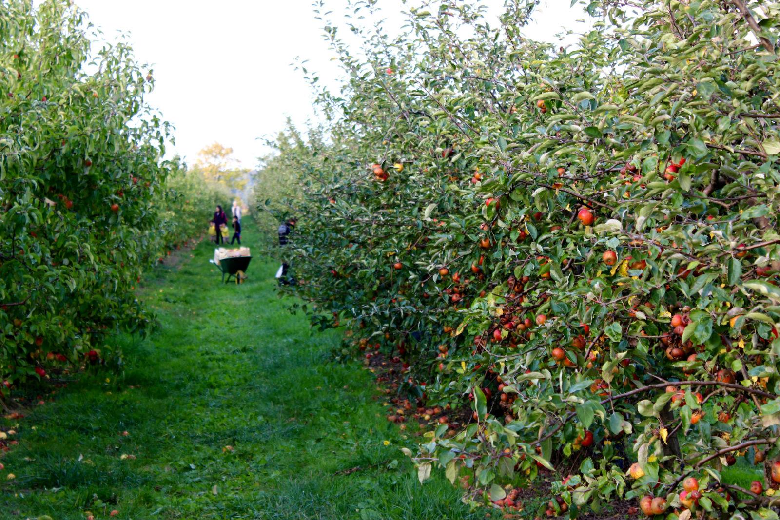 HiP Paris blog. Cueillette de Gally. Spend an afternoon lost amongst the apples'