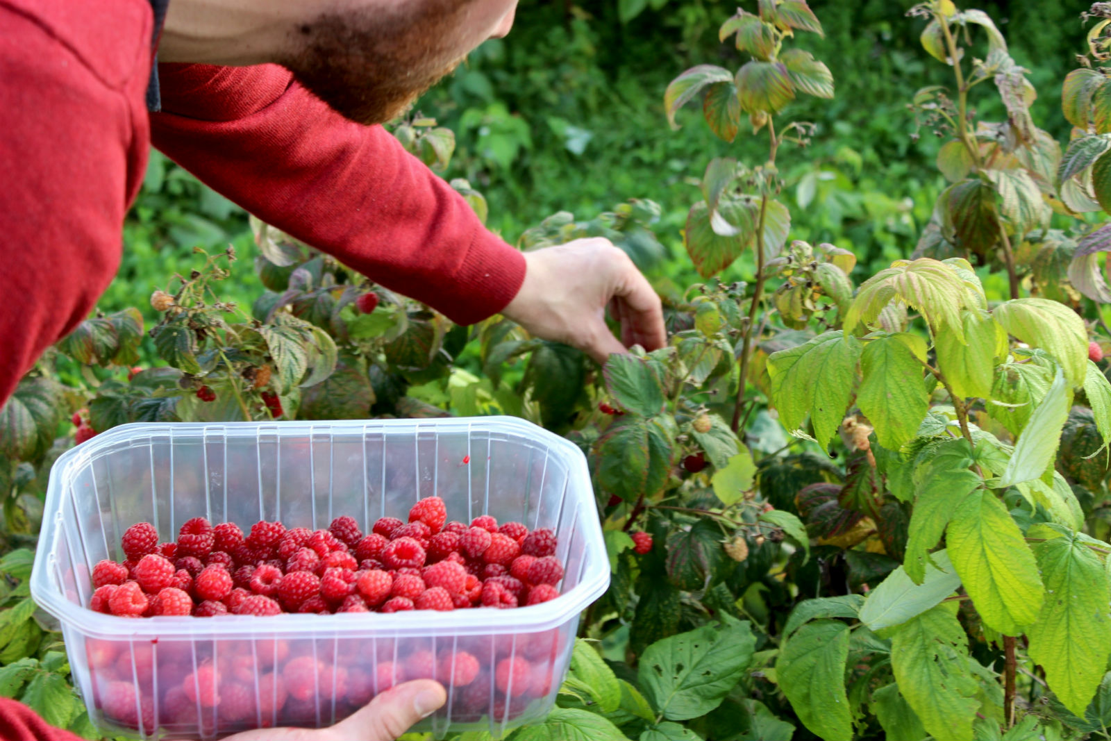 HiP Paris blog. Cueillette de Gally. Picking raspberries